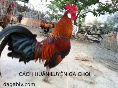 cach-huan-luyen-ga-choi-2