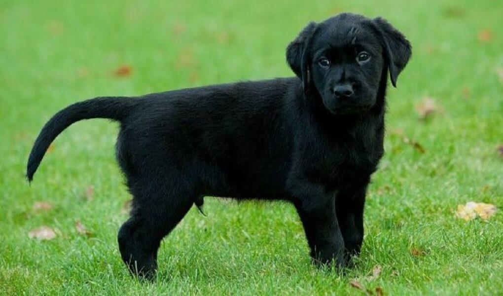 Ngủ mơ thấy chó đen có ý nghĩa gì?